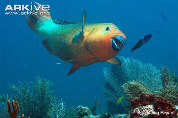 rainbow-parrotfish-swimming